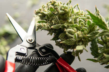 The sugar leaves on buds. Mans hands trimming marijuana bud. Growers trim their pot buds before drying. Trim before drying. Growers trim cannabis buds. Harvest weed time has come. Stock Photo