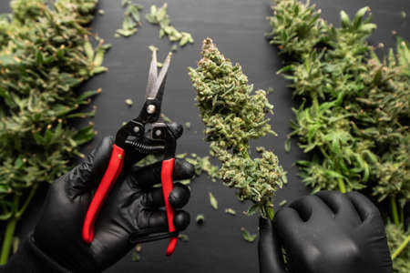 Harvest weed time has come. Mans hands trimming marijuana bud. Growers trim their pot buds before drying. The sugar leaves on buds. Growers trim cannabis buds. Trim before drying.