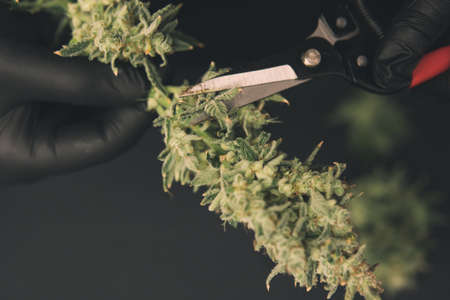 Growers trim their pot buds before drying. Mans hands trimming marijuana bud. Growers trim cannabis buds. Harvest weed time has come. The sugar leaves on buds . Trim before drying.