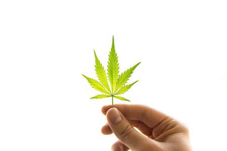 Cannabis leaf in hands. Cannabis buds weed on black wood