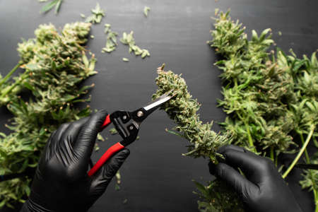 Mans hands trimming marijuana bud. Growers trim cannabis buds. Growers trim their pot buds before drying. The sugar leaves on buds. Trim before drying. Harvest weed time has come.