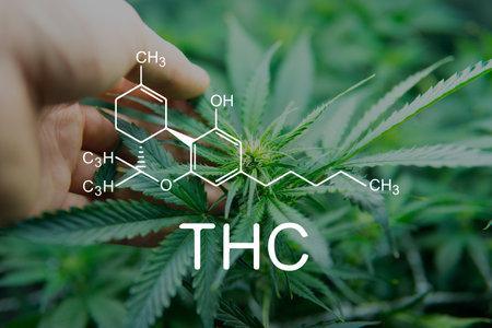 THC tetrahydrocannabinol and marijuana. Cannabis legalization medical pot. formula cannabis. Weed Decriminalization. 免版税图像