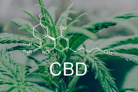 Weed Cannabidiol Decriminalization. CBD formula cannabis oil and marijuana. Cannabis legalization medical pot.