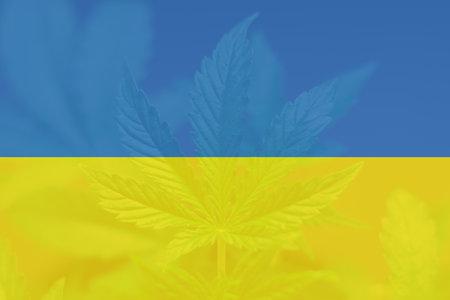 Cannabis legalization in the Ukraine. Medical cannabis in the Ukraine. Weed Decriminalization in Ukraine. leaf of cannabis marijuana on the flag of Ukraine.