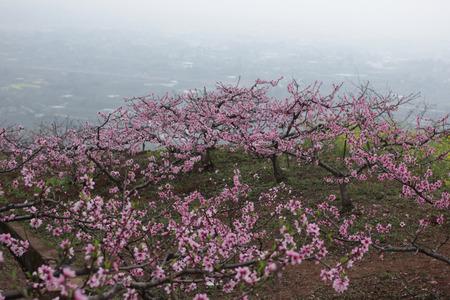 fairyland: peach blossom  Stock Photo