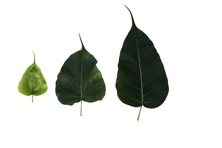 tripple: Green leaf, tripple Pho leaf isolated on white background (The evolution of pho leaf,The growth of pho leaf)