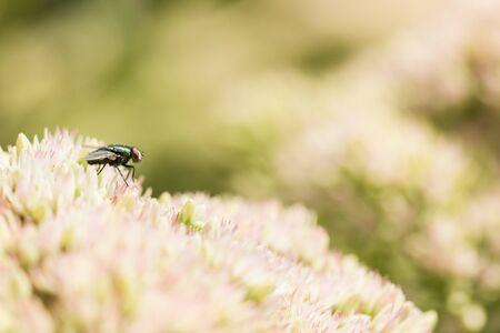 macrophotography: macrophotography of fly