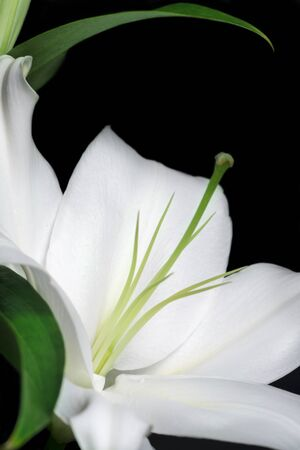 macrophotography: white lily Stock Photo