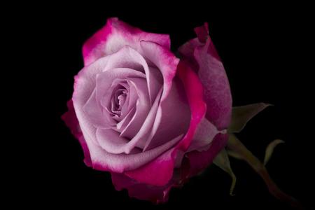 bicolor: pink bicolor