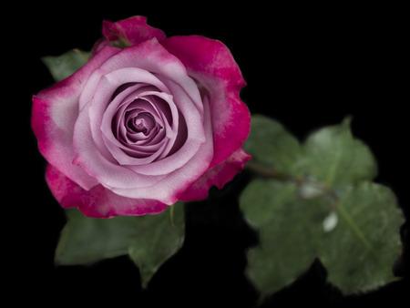 macrophotography: pink bicolor