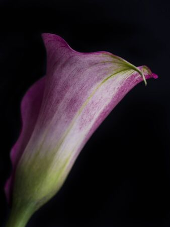 macrophotography: Pink arum Stock Photo
