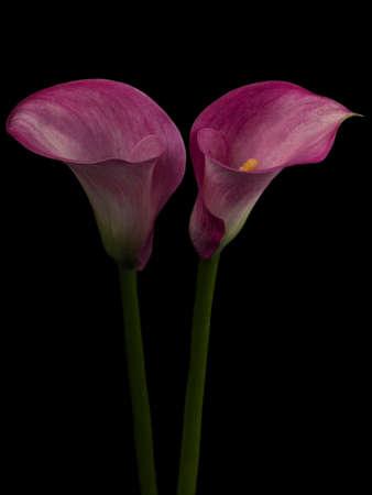 macrophotography: Pink arum Stock Photo