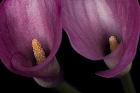 arum: Pink arum Stock Photo