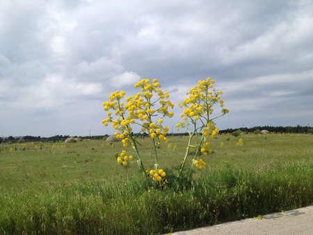 hemlock: �rboles Hemlock en flor