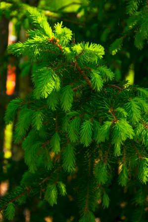 conifer: conifer tree