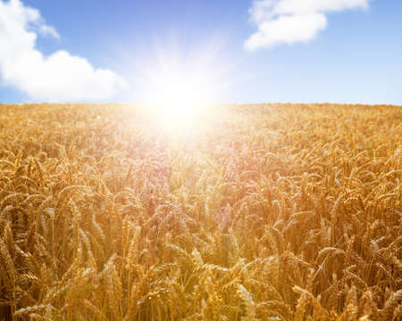 Field of wheat ready to be harvested with beautiful sunset on blue sky background Stock Photo