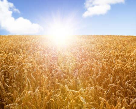 Vetefält redo att skördas med vacker solnedgång på blå himmel bakgrund
