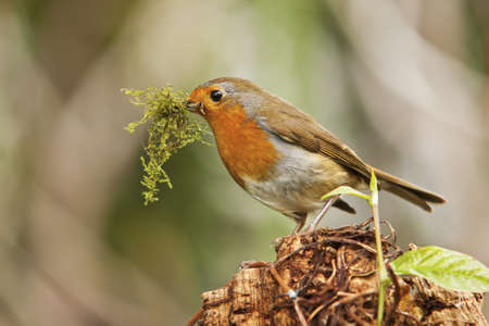 Cheeky Robin Red Breast Profile View with moss in its beak. shallow deaph of field Stock Photo