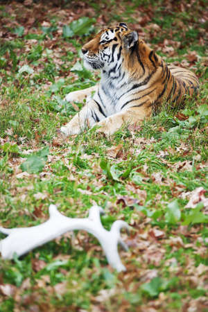 peacefull: Siberian tiger lays on the grass relaxed. Wild animal in nature.
