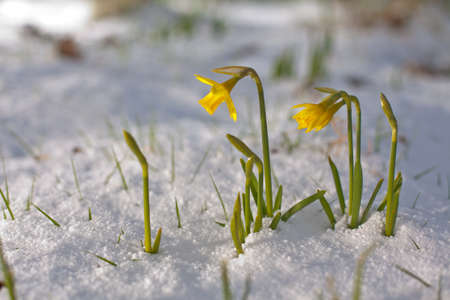 Bunch of yellow spring daffodils growing through the snow outdoors