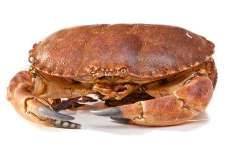 Fresh raw edible brown sea crab also known as Cancer pagurus  isolated on white background  photo