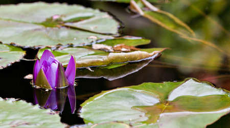 Purple lotus water lillly flower blooming at the garden pond. Tranquil scene photo