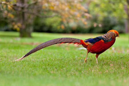 Golden Pheasant Chrysolophus pictus or Chinese Pheasant outdoors
