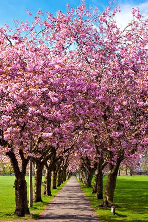 flor de cerezo: Caminar camino rodeado de �rboles en flor de ciruelo en el parque Meadows, Edimburgo