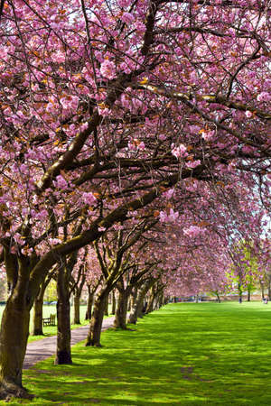 Green lawn with blossoming plum trees at Meadows park, Edinburgh  Stock Photo