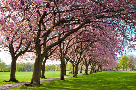 Green lawn with blossoming plum trees at Meadows park, Edinburgh  Imagens
