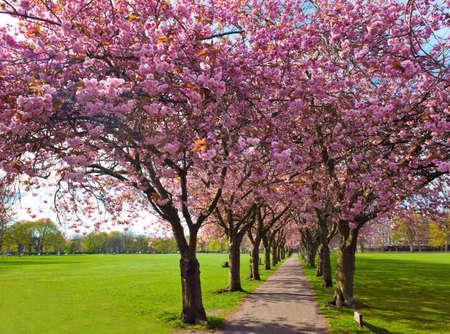 Caminar camino rodeado de árboles en flor de ciruelo en el parque Meadows, Edimburgo Foto de archivo - 27942531