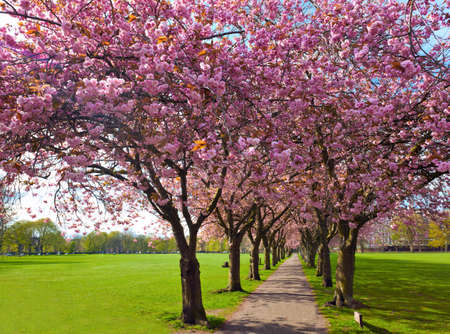 Walk path surrounded with blossoming plum trees at Meadows park, Edinburgh