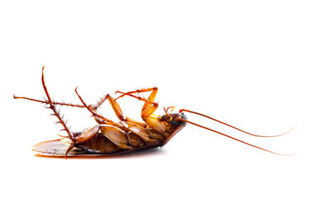 Dead common cockroach upside down on a white background