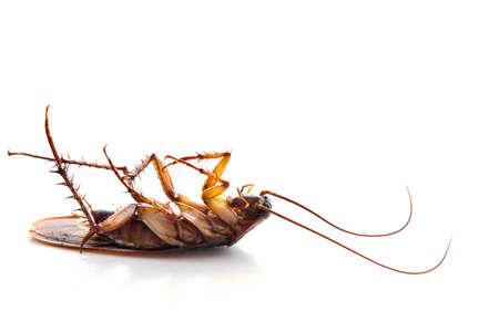 cabeza abajo: Muerto cucaracha com�n al rev�s sobre un fondo blanco Foto de archivo