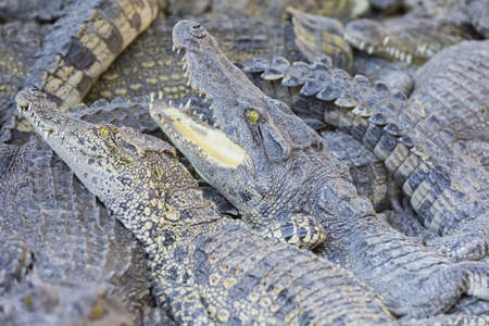 chilling out: Crocodiles chilling out on the Sun  at breeding farm in Siem Reap, Cambodia