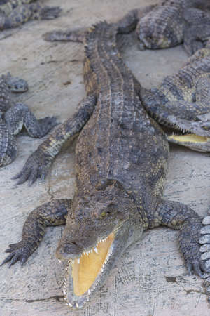 chilling out: Crocodile chilling out on the Sun with open jaws at breeding farm in Siem Reap, Cambodia