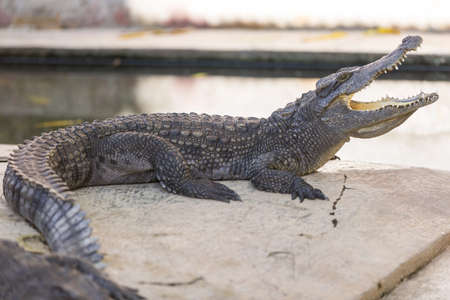 chilling out: Crocodile chilling out on the Sun with wide open jaws