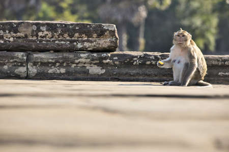 chinese new year food: Long-tailed Macaque Monkey sitting on ancient ruins of Angkor Wat with some food. Chinese 2016 New Year symbol