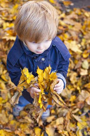 wee: Toddler blond boy with blue eyes stands on bed of autumn fallen foliage with maple leaves in hands