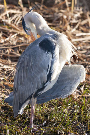 ardeidae: The grey heron, aka Ardea cinerea, is a wading bird of the heron family Ardeidae, native throughout temperate Europe and Asia and also parts of Africa