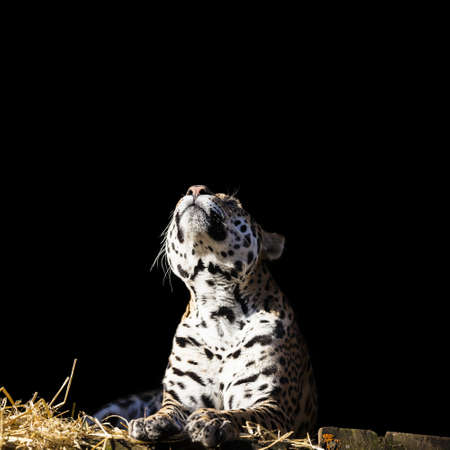 imperturbable: Leopard looks up on the dark background.