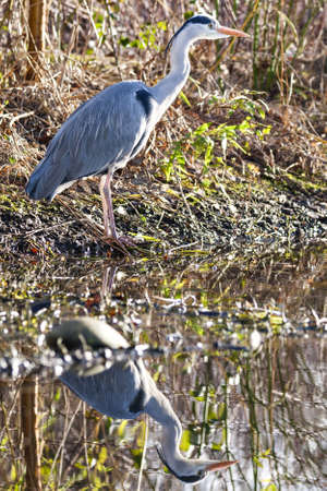 wading: The grey heron, aka Ardea cinerea, is a wading bird of the heron family Ardeidae, native throughout temperate Europe and Asia and also parts of Africa