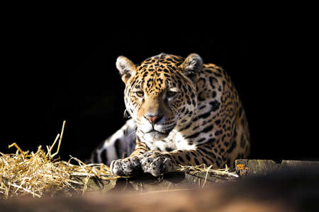 imperturbable: Wild leopard lying relaxed on the dark background