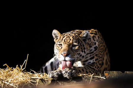 imperturbable: Wild leopard lying relaxed and licking paw on the dark background