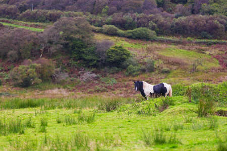 Black Gypsy horse aka Gypsy Vanner grazes on pasture. Summer rural landscape with Irish Cob in meadow. Stock Photo
