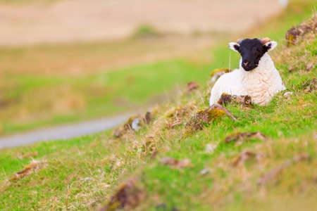 Young horned lamb resting on grass, Isle of Skye, Scotland.