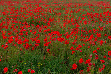 Beautiful red poppies field landscape in Scotland. Standard-Bild