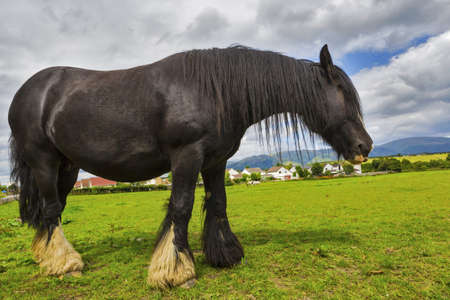 Black Gypsy horse aka Gypsy Vanner grazes on pasture. Summer rural landscape with Irish Cob in meadow under cloudy sky. Banco de Imagens - 112483617
