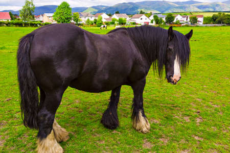 Black Gypsy horse aka Gypsy Vanner grazes on pasture. Summer rural landscape with Irish Cob in meadow under cloudy sky.