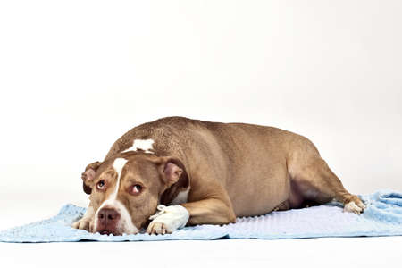 wounded: hurt dog with a surgical dressing  Stock Photo
